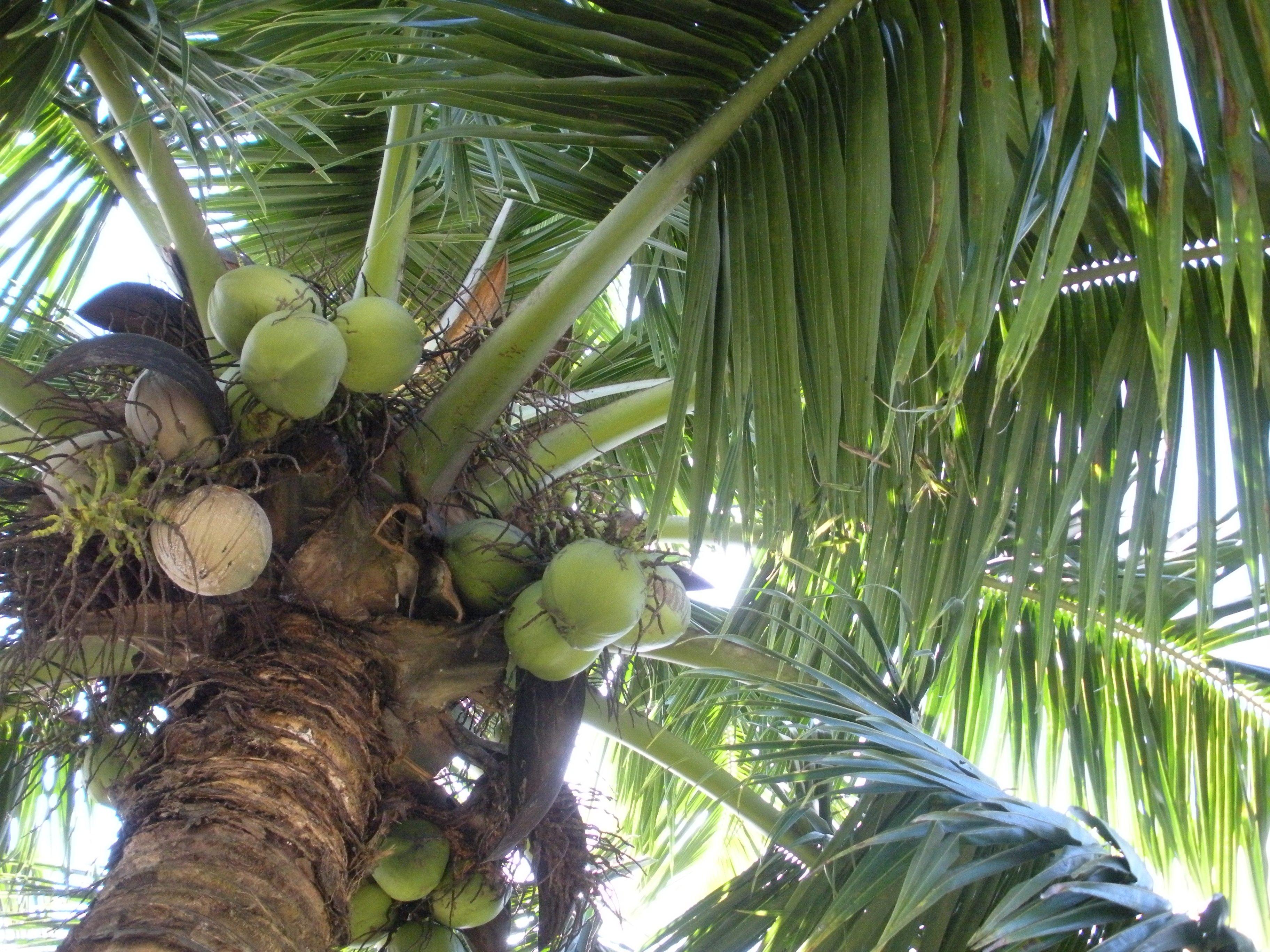 Voyage a tahiti faire du lait de coco morgane 2009 histoire de famille - Arbre noix de coco ...